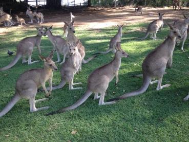 Kangaroos at Lone Pine